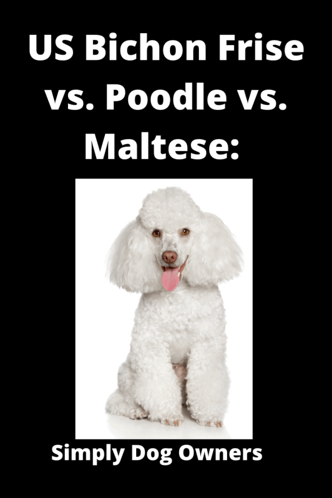 US Bichon Frise vs. Poodle vs. Maltese: What's the Difference? 3