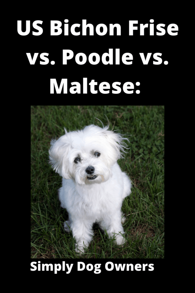 US Bichon Frise vs. Poodle vs. Maltese: What's the Difference? 2