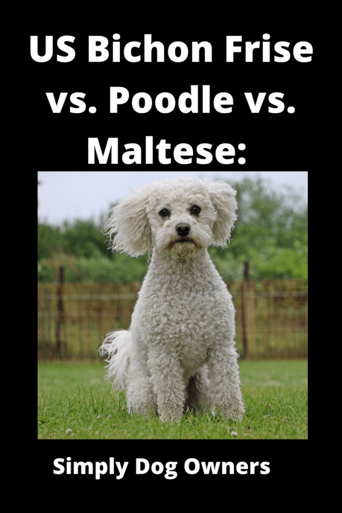 US Bichon Frise vs. Poodle vs. Maltese: What's the Difference? 1