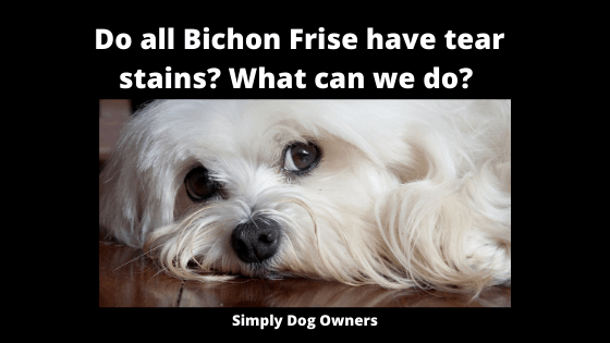 Do all Bichon Frise have tear stains_ What can we do_