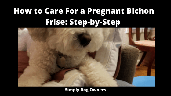 How to Care For a Pregnant Bichon Frise_ Step-by-Step