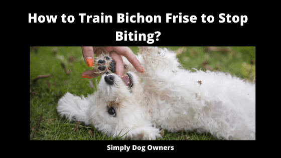 How to Train Bichon Frise to Stop Biting_