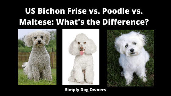 US Bichon Frise vs. Poodle vs. Maltese_ What's the Difference_