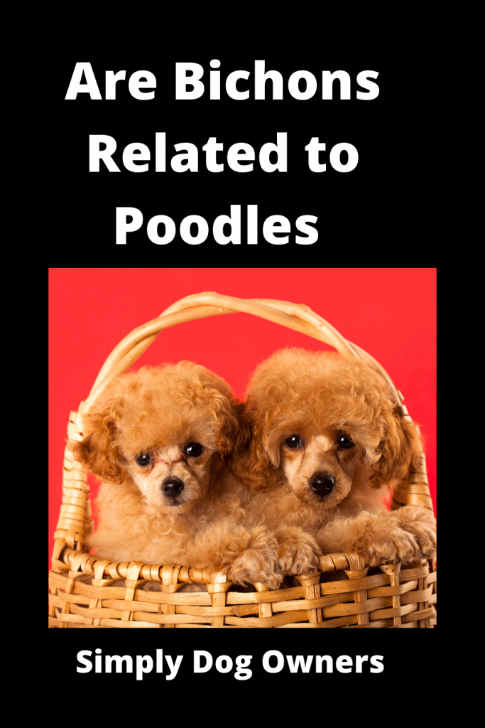 Are Bichons Related to Poodles - Major Comparisons 2