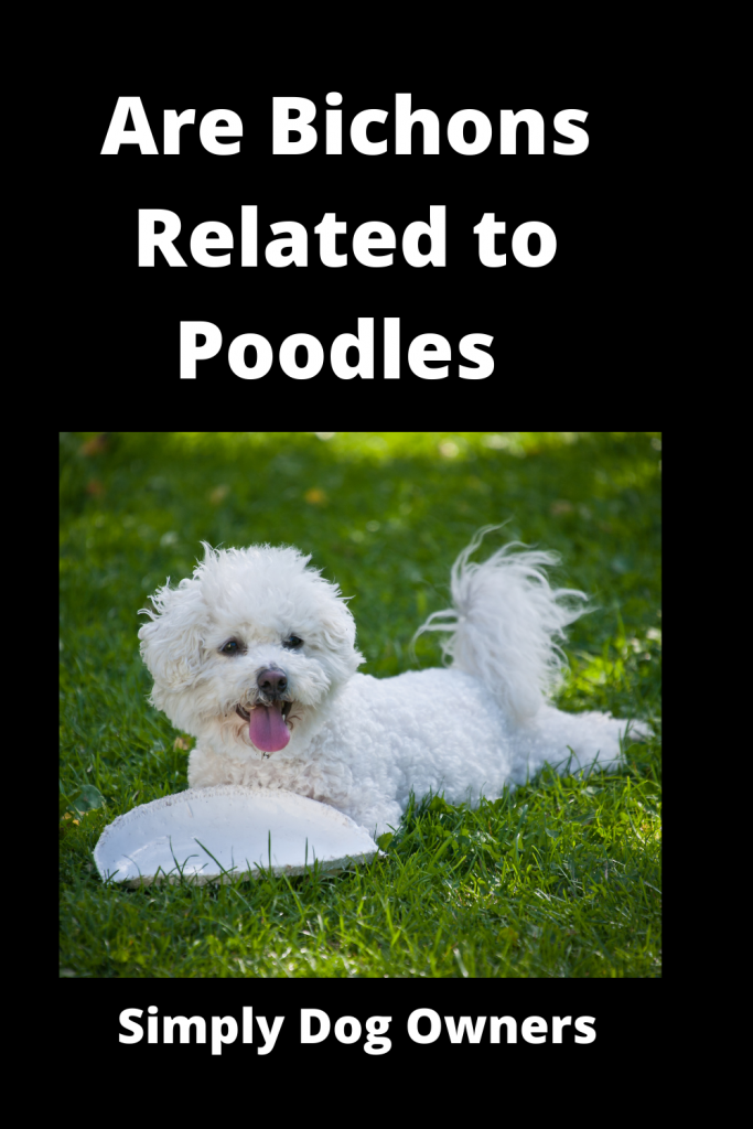 Are Bichons Related to Poodles - Major Comparisons 3