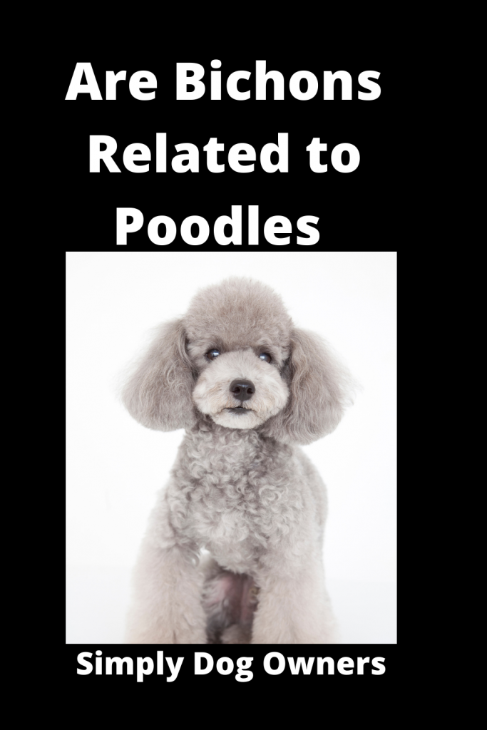 Are Bichons Related to Poodles - Major Comparisons 4