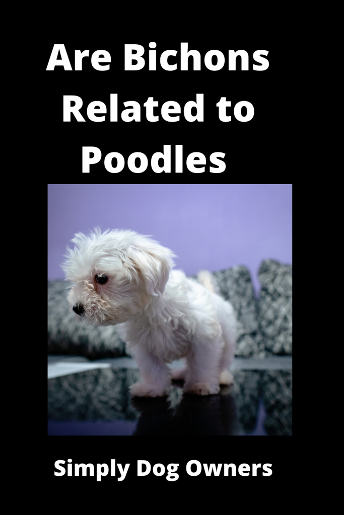Are Bichons Related to Poodles - Major Comparisons 1