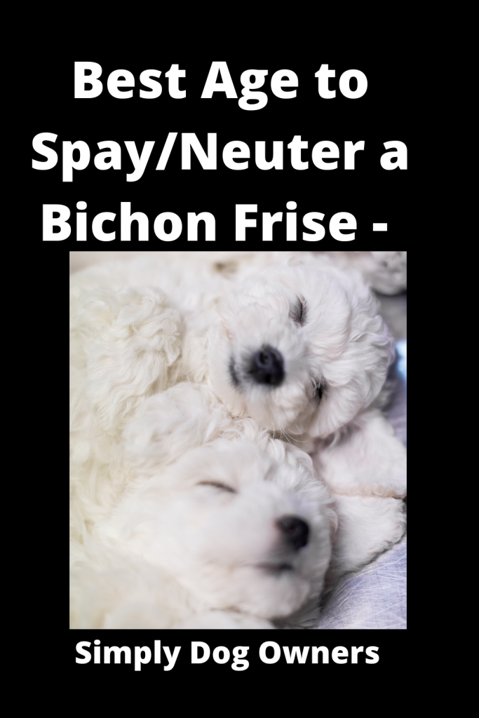Best Age to Spay/Neuter a Bichon Frise - Medical Guidance 3