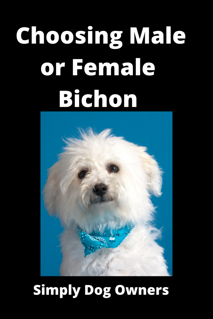 Choosing Male or Female Bichon? Weighing Your Options 2