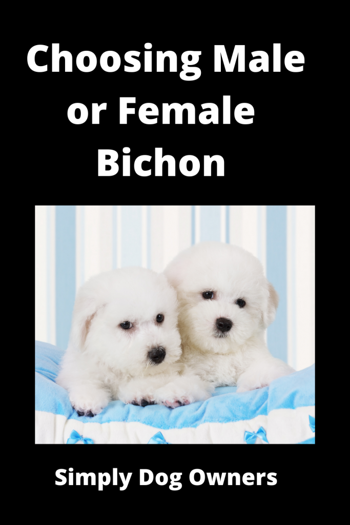 Choosing Male or Female Bichon? Weighing Your Options 1