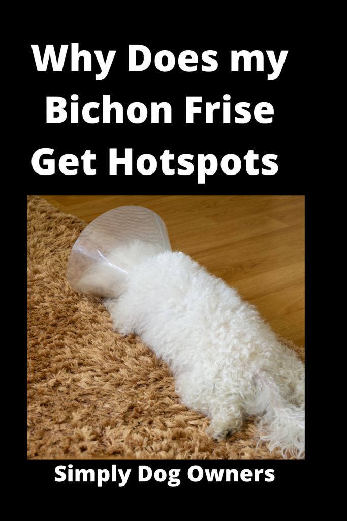 Why Does my Bichon Frise Get Hotspots - 21 Agonizing Reasons 2