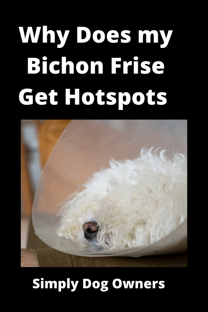 Why Does my Bichon Frise Get Hotspots - 21 Agonizing Reasons 1