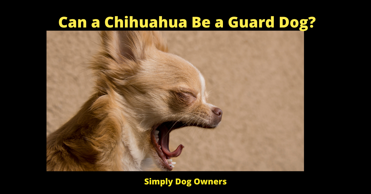 Can a Chihuahua Be a Guard Dog?
