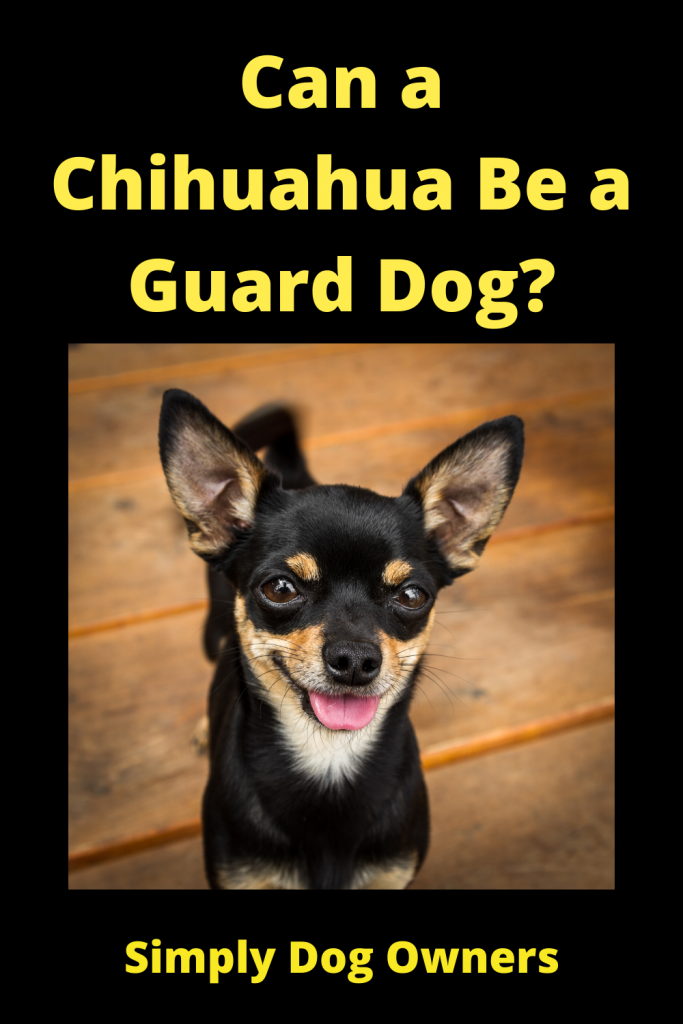 Can a Chihuahua Be a Guard Dog? 2