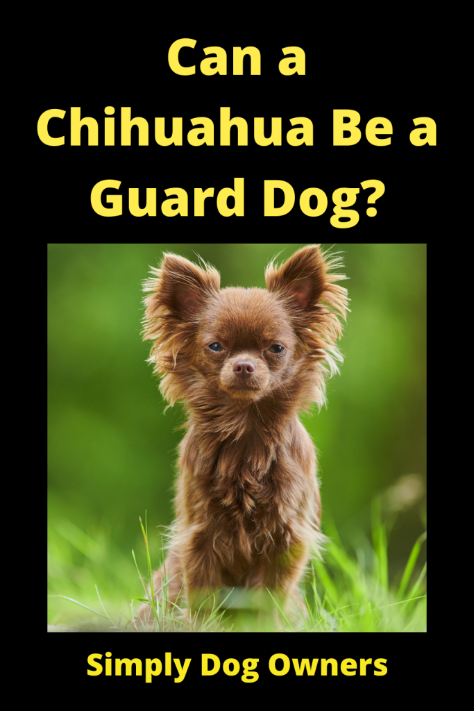 Can a Chihuahua Be a Guard Dog? 3