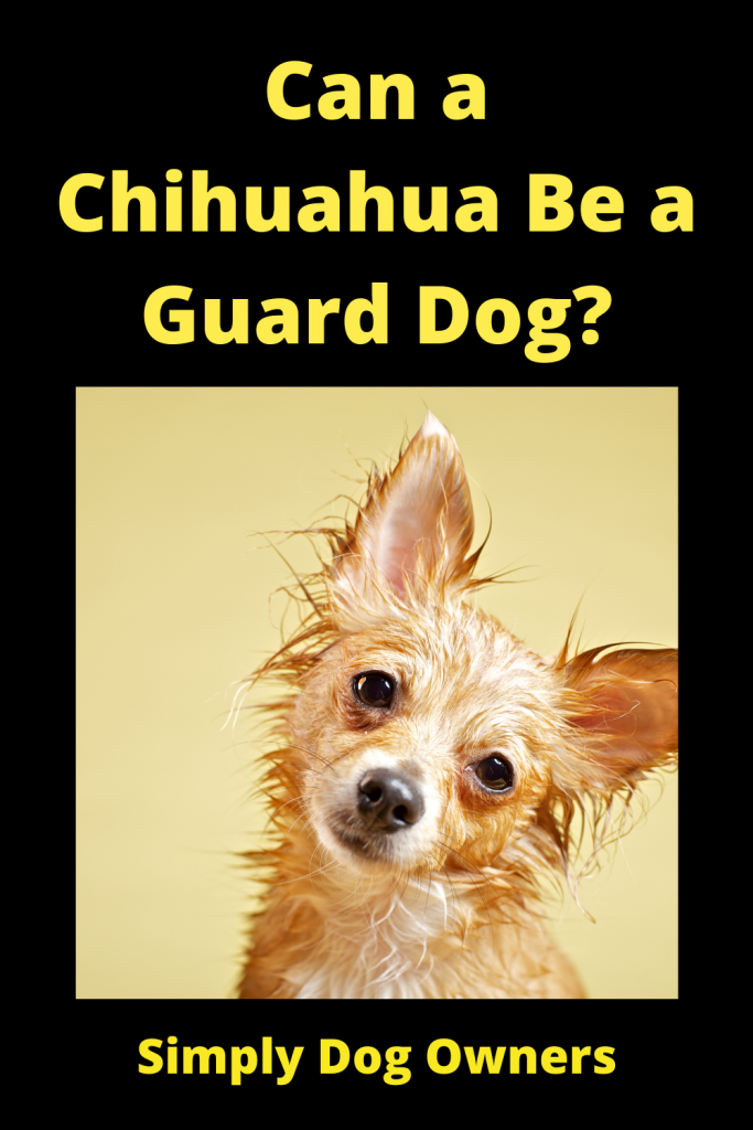 Can a Chihuahua Be a Guard Dog? 4