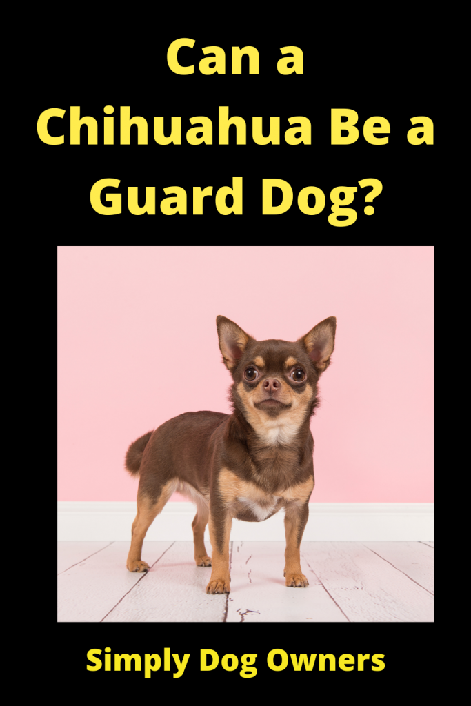 Can a Chihuahua Be a Guard Dog? 1