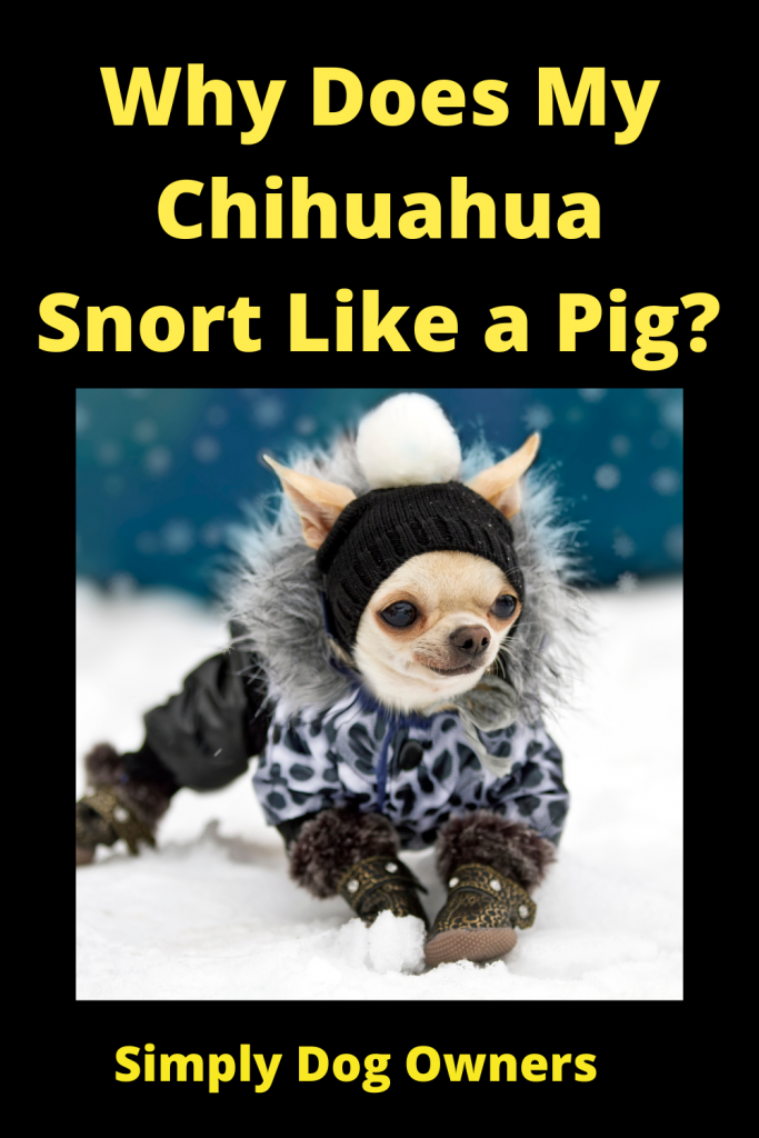 Why Does My Chihuahua Snort Like a Pig? 2