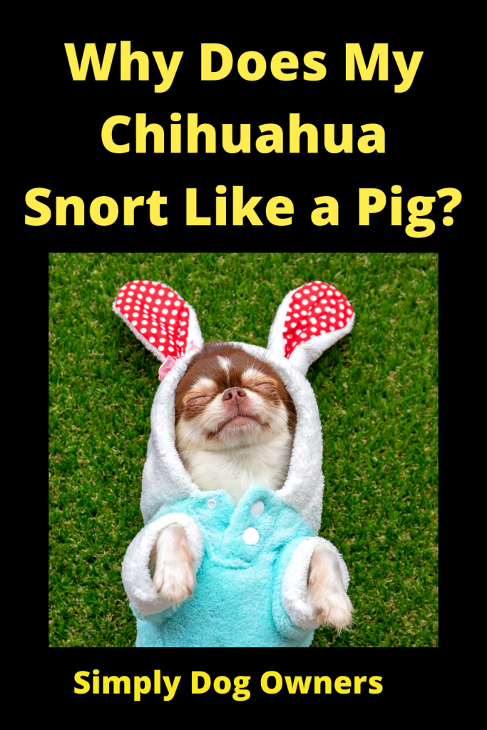 Why Does My Chihuahua Snort Like a Pig? 3