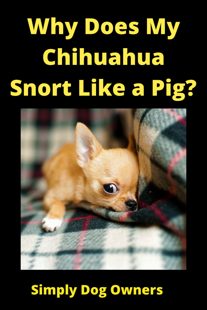 Why Does My Chihuahua Snort Like a Pig? 4
