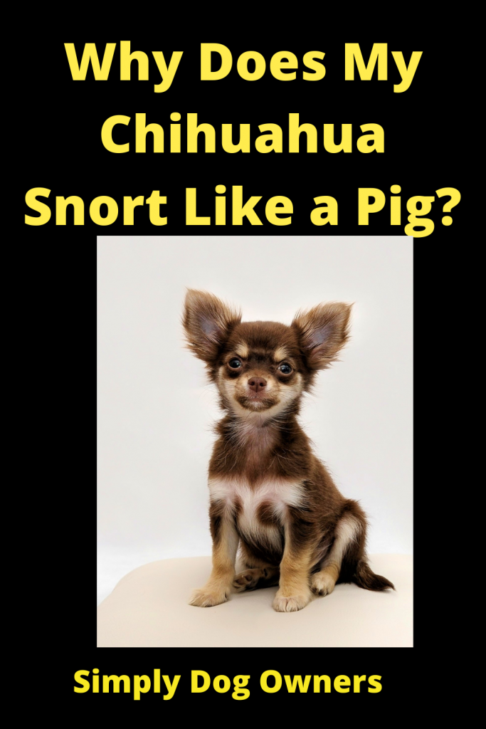 Why Does My Chihuahua Snort Like a Pig? 1