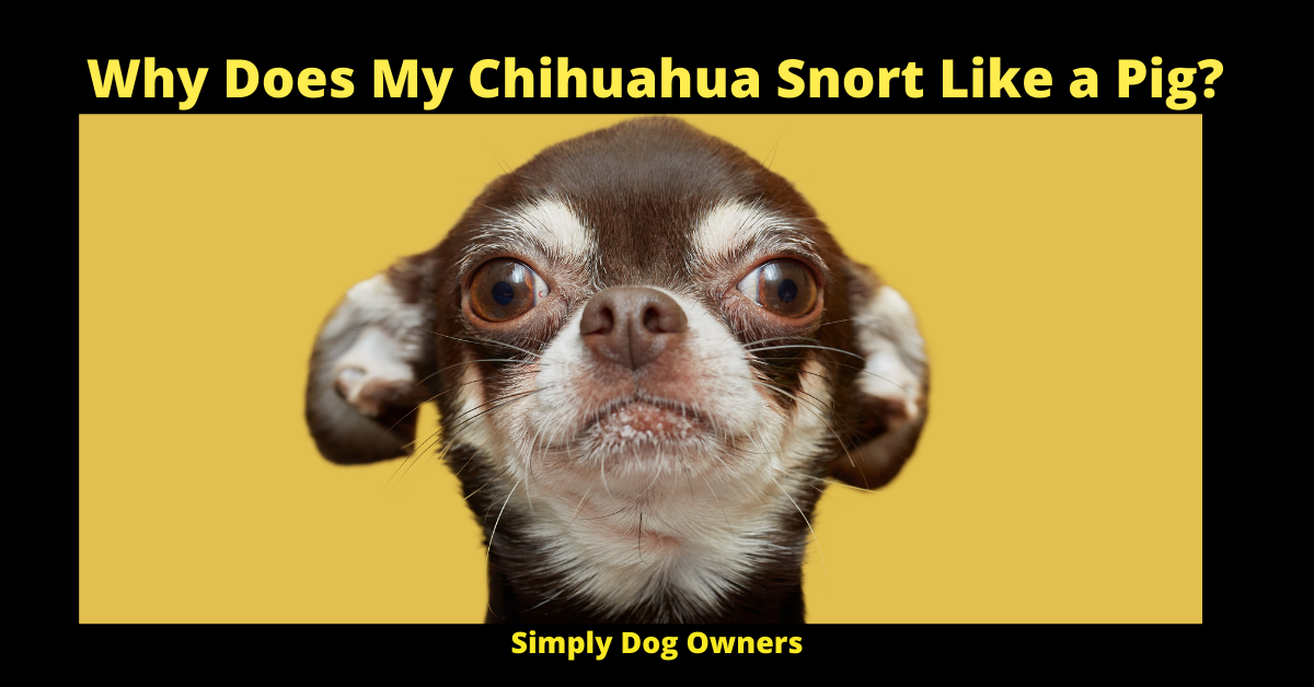 Why Does My Chihuahua Snort Like a Pig_