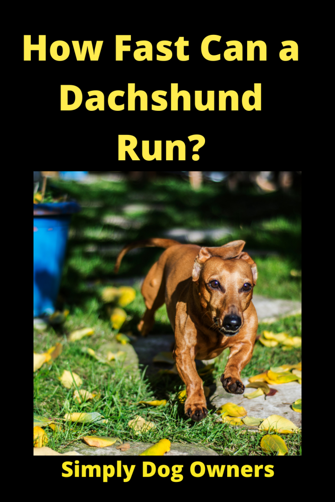 How Fast Can a Dachshund Run? / Sausage Dogs 2