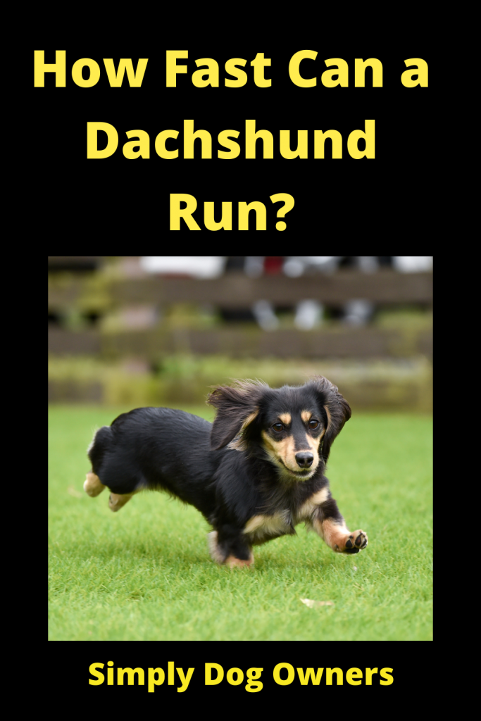 How Fast Can a Dachshund Run? / Sausage Dogs 3