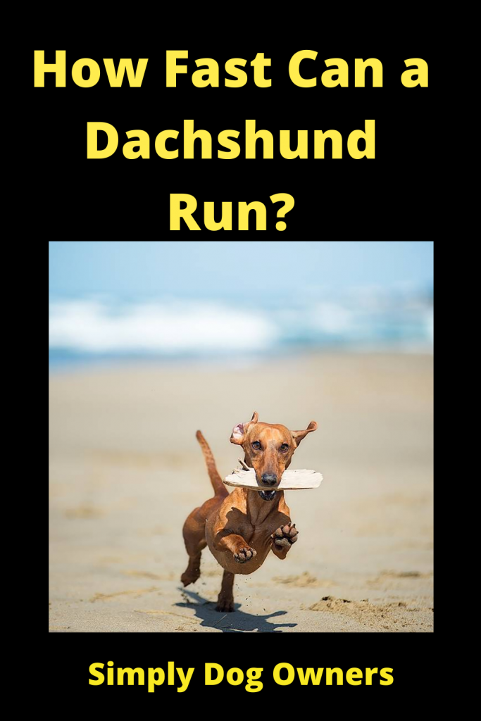 How Fast Can a Dachshund Run? / Sausage Dogs 4