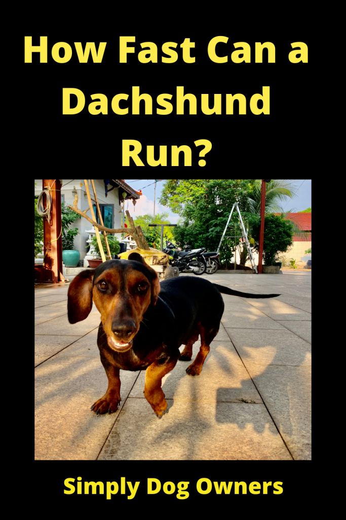 How Fast Can a Dachshund Run? / Sausage Dogs 1