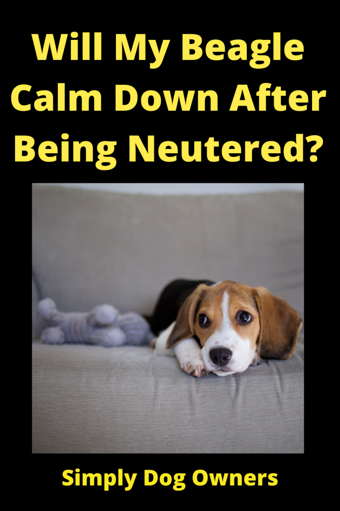 Will My Beagle Calm Down After Being Neutered? 2