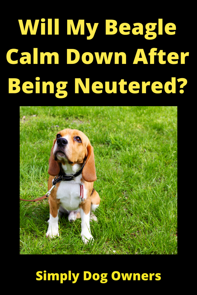 Will My Beagle Calm Down After Being Neutered? 3