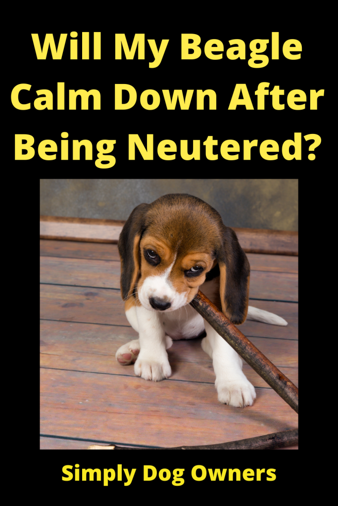 Will My Beagle Calm Down After Being Neutered? 4