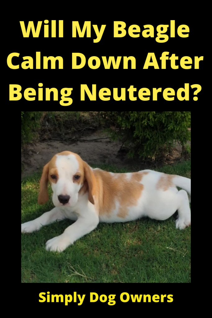 Will My Beagle Calm Down After Being Neutered? 1