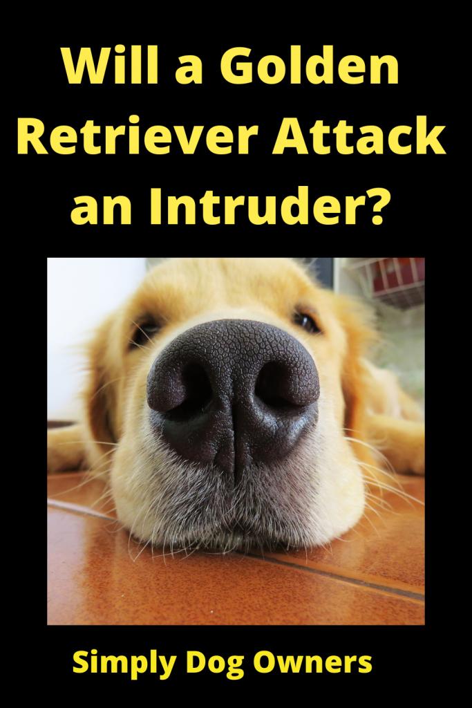 Will a Golden Retriever Attack an Intruder? 1