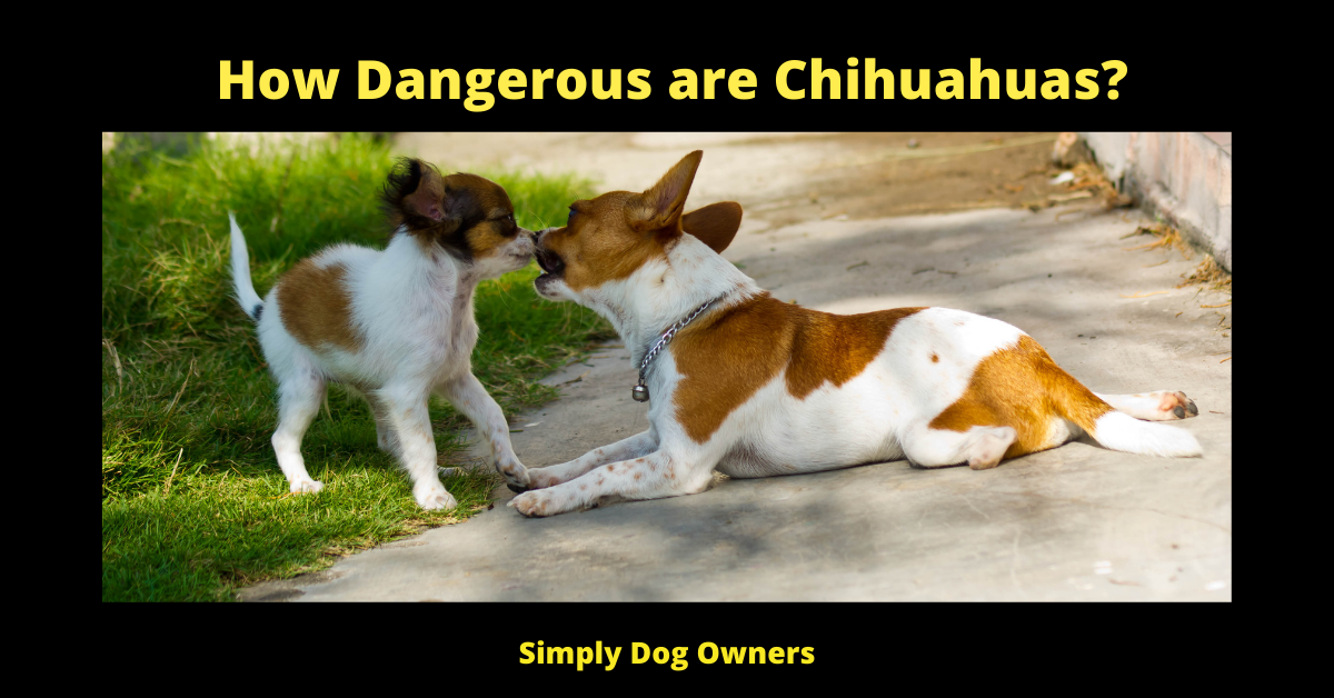 How Dangerous are Chihuahuas?