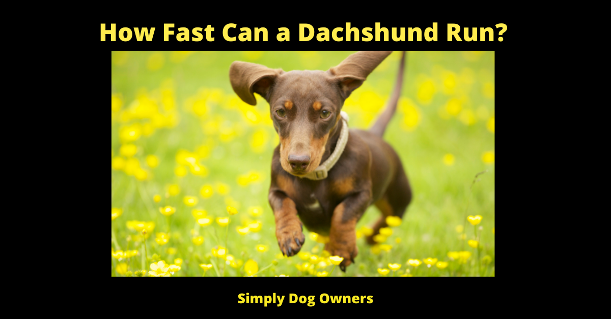 How Fast Can a Dachshund Run_