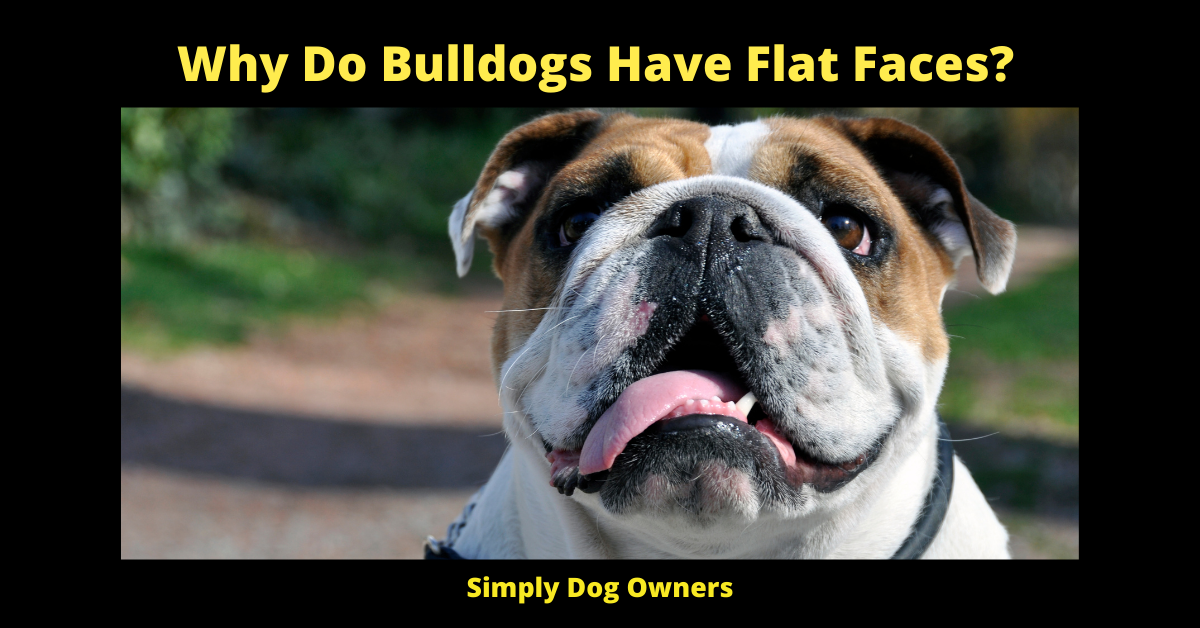 Why Do Bulldogs Have Flat Faces?