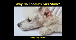 Why Do Poodle's Ears Stink?