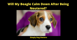 Will My Beagle Calm Down After Being Neutered?