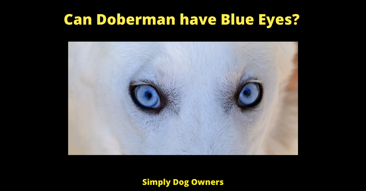 Can Doberman have Blue Eyes?