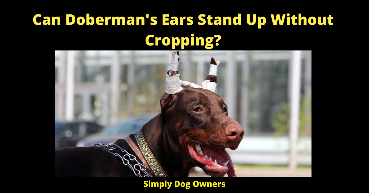 Can Doberman's Ears Stand Up Without Cropping?