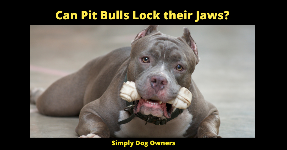 Can Pit Bulls Lock their Jaws?