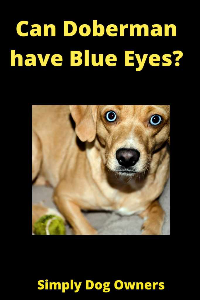 Can Doberman have Blue Eyes? 3