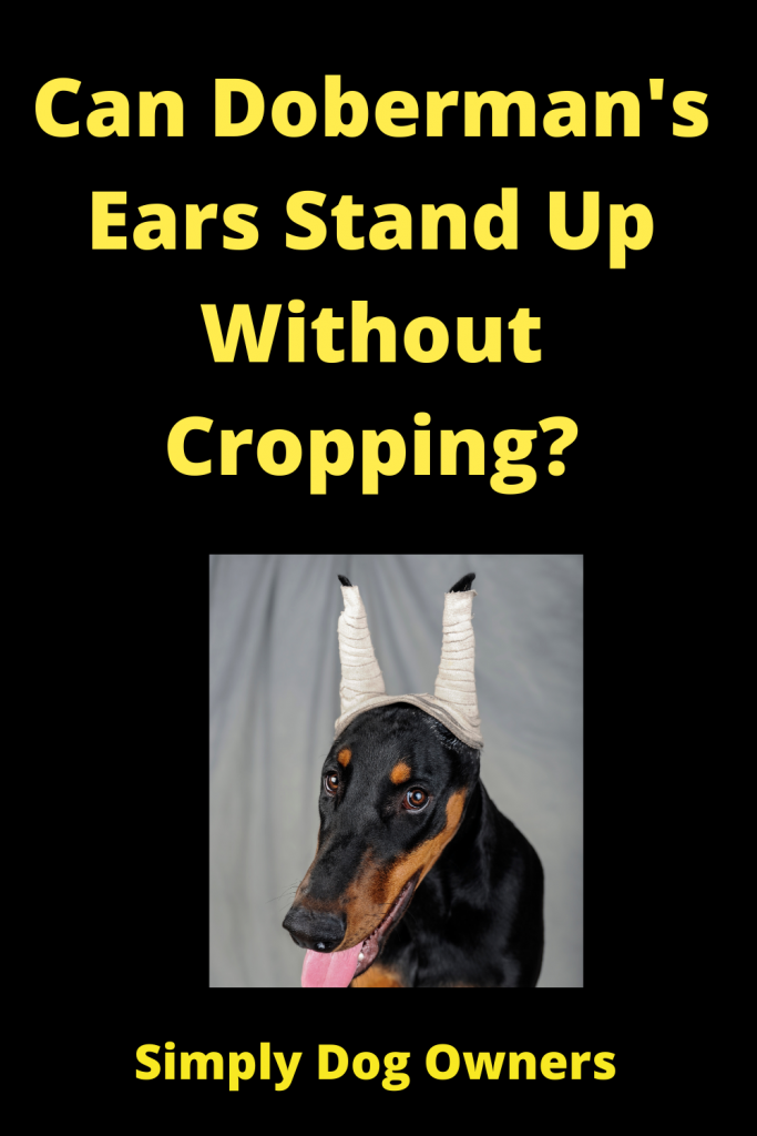 Can Doberman's Ears Stand Up Without Cropping? 3