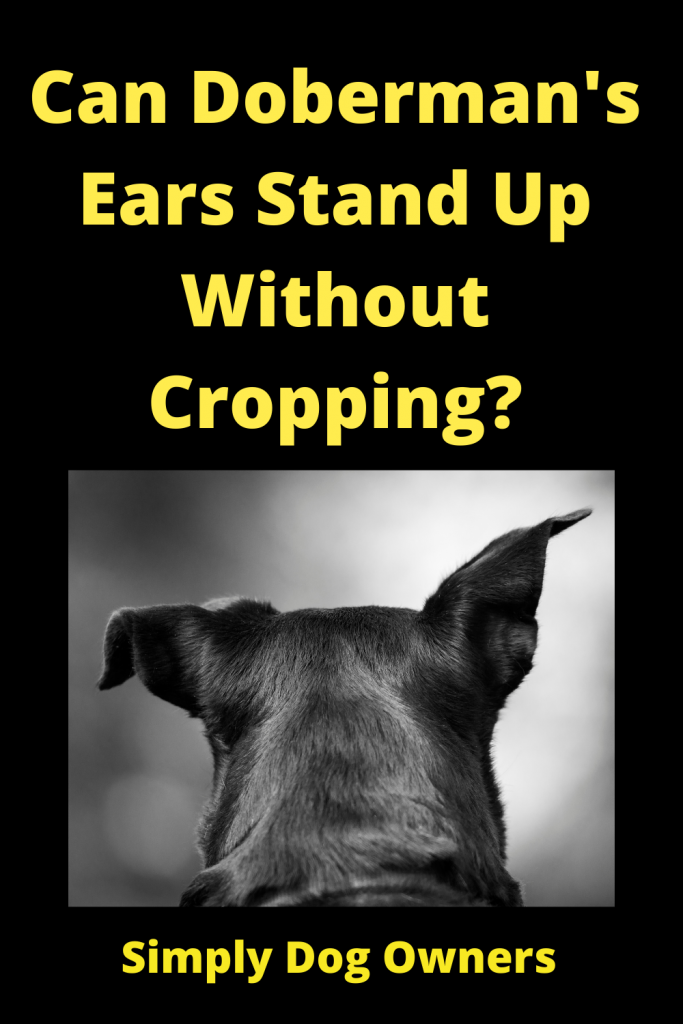 Can Doberman's Ears Stand Up Without Cropping? 4