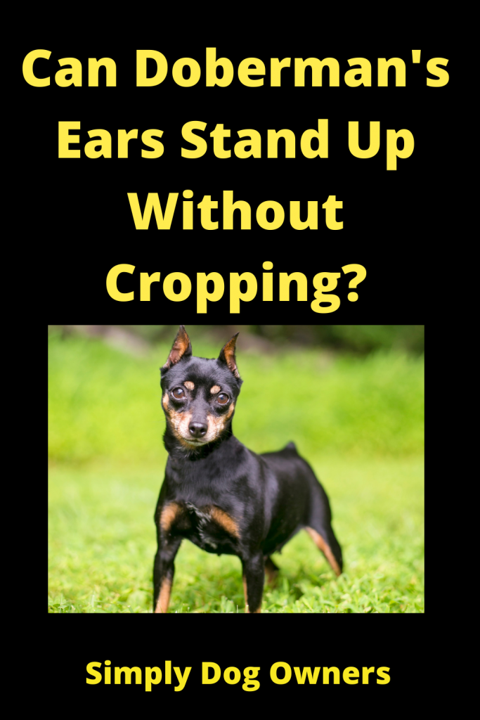 Can Doberman's Ears Stand Up Without Cropping? 1
