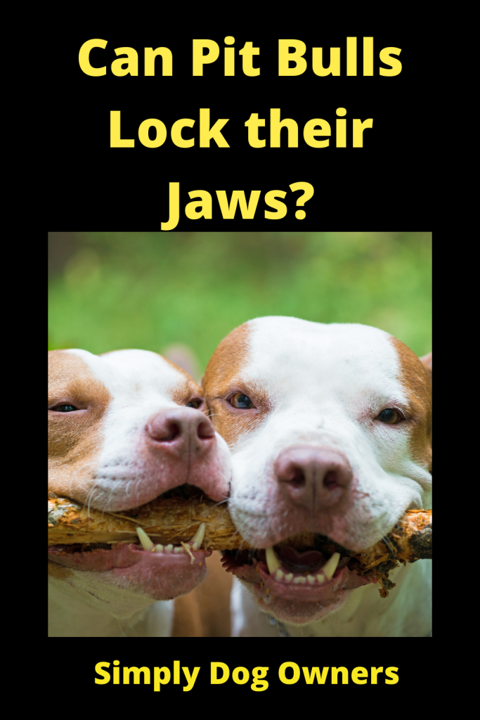 Can Pit Bulls Lock their Jaws? 4