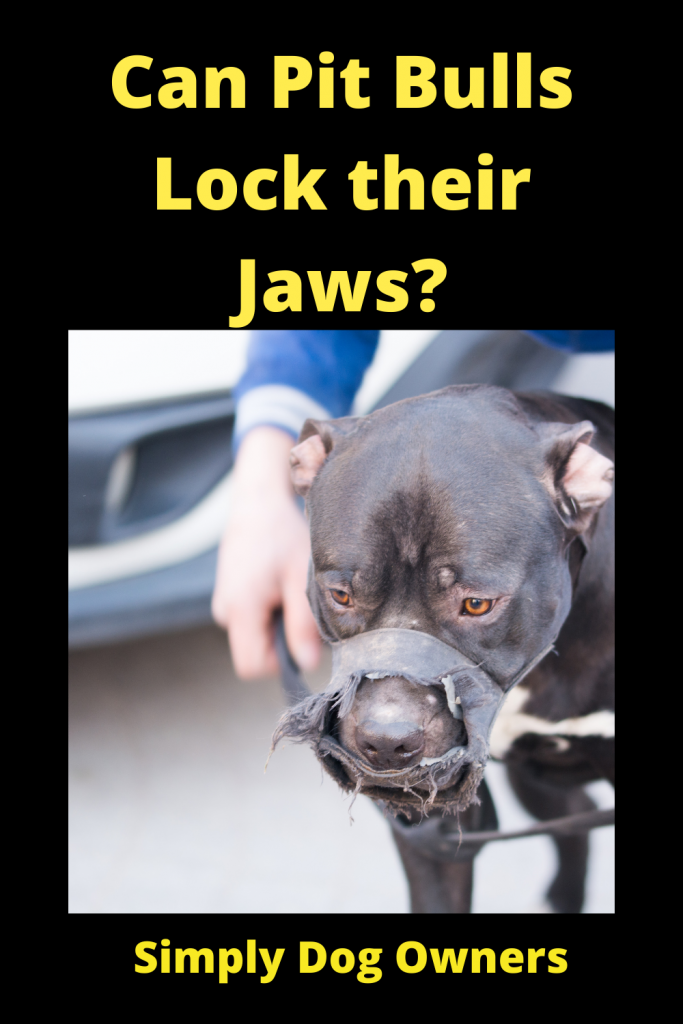 Can Pit Bulls Lock their Jaws? 1