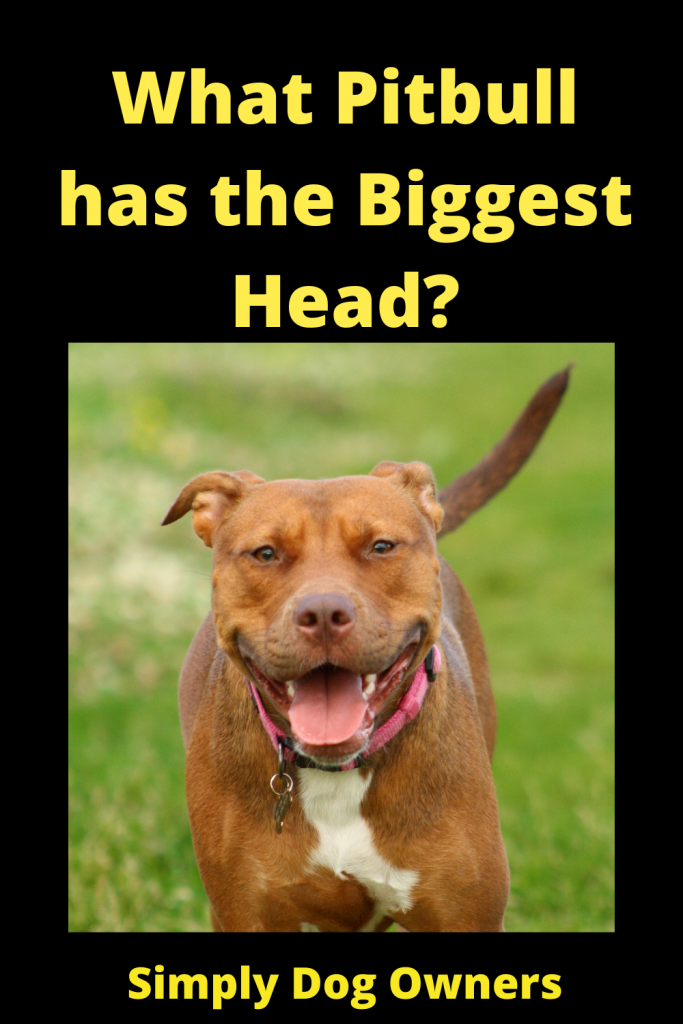 What Pitbull has the Biggest Head? 2